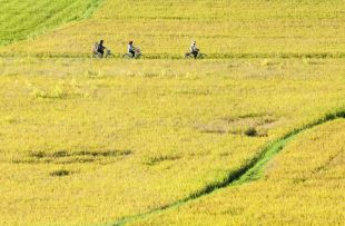 farmers go to work by bicycle, the field in the early morning, the Mekong delta, Vietnam