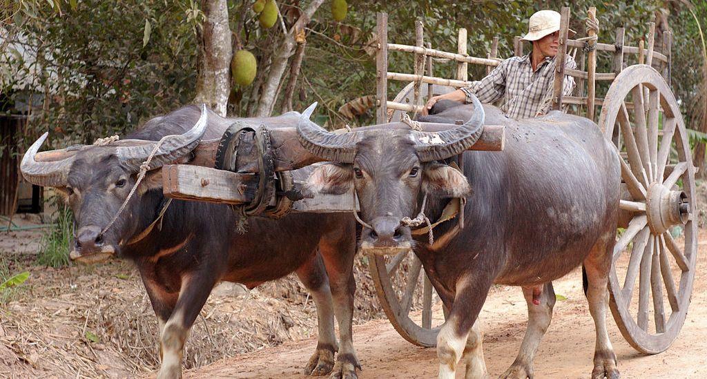 buffalo cart wiki1